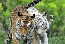 Tigers oh my!