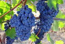 du raisin au vin