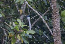 birding in Flores & Komodo