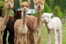 Alpacas for a Rainy Day