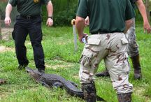 Alligator Abatement Training / 8 Deputies received valuable training with regard to their personal safety and that of handling alligators.  From time to time, the Sheriff's Office does receive calls that deal with large and sometimes aggressive animals.  The deputies received insightful information on how to deal with these types of animals in a humane manner.   / by Walton County Sheriff's Office