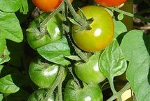 Tomatoes / Growing tomatoes