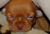 Chihuahua / www.facebook.com/havinko