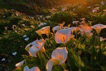 drumul florilor