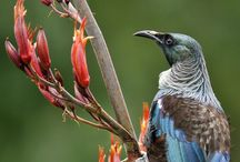 Pictures of nz tui