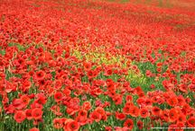 Garden-Poppies / Just beautiful red poppies,love the colors!