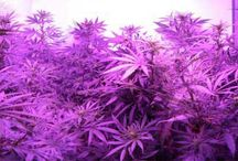 LED Grow Lights Good for Marijuana? / by Nebula Haze