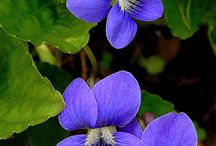 Viola - Violka vonná - fialka