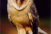 Ptáci - Sovy