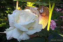 """Roses / Najpiękniejsze róże w """"Ogrodzie pod lasem"""""""