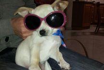 chihuahua my <3