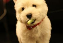 westies / In love with westies