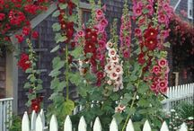 Garden || Hollyhocks