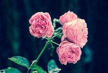 Rose / Des notes florales délicates aux facettes subtilement fruitées de rose et de violettes pour célébrer le printemps!