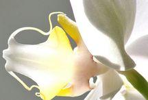 Orquidias/Orchid