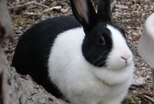 In memory of Thumper our Animal Science Dutch Rabbit