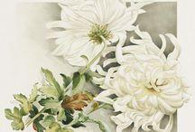 chryzantémy, astry....
