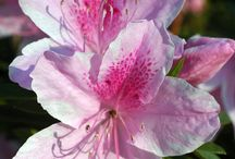 AZALEAS | RHODODENDRONS / Rhododendrons and azaleas, both from the genus Rhododendron.  The leaves for the smaller azalea are usually pointed and narrow; the leaves of the rhododendron are generally large and leathery.