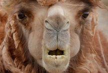 Camel, Giraffe, Llama, Alpaca / Camelids plus giraffes
