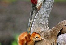 baby cranes