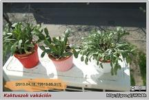 VM: Holiday Cactus / Christmas Cactus, Thanksgiving Cactus, Easter Cactus : Schlumbergera buckleyi, Schlumbergera truncata,  Hatiora gaertneri