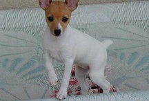 Toy fox terrier  / Toy Fox Puppy's  / by Amanda O'Dell