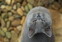 Blue Cats / by TheCatSite.com