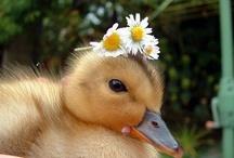 Ducks are beatiful