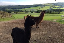 Nidderdale Llamas, Yorkshire, England / An afternoon trekking in Nidderdale, Yorkshire with our own Llama!