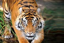 Big cats / Big wild cats, love them! Mainly tigers