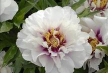 Fragrant Perennials