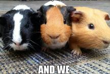 Life with my guinea pigs