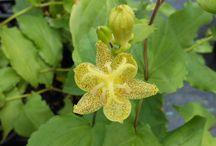 Flowering Perennials for Spring 2016