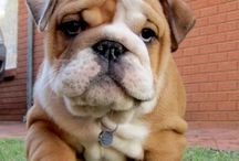 Cute Dog :: Bulldog