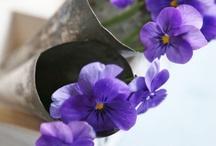 Violetas y violas / Flores