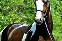 Warmblood Stallions ♢