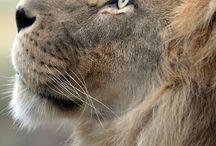 the lion & co.