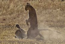 Leopard Fight / Http://www.PhotoPixSA.co.za Leopard Fight with lot of action photos