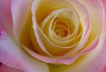 rose-motive