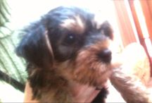 Yorkshire terrier, nosso Miguel