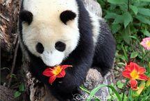 Pandass