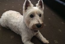 West Highland ' Westie' Terriers .......Hamish