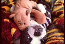 Boston terrier-LILY
