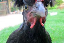 Hühner / Hennen, Geflügel, Kleintierhaltung, Hühner, Mini-Farming, Selbstversorgung, Eier, Gefieder, Tiere, Haustiere,