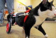 Cats in Wheelchairs / Photos of cats and other small animals in wheelchairs (carts).