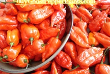 ghost pepper plants / BuyGhostpepperPlants.com is where you can find lots of different varieties of Bhut Jolokia Ghost peppers as well as Trinidad scorpions.  It's always free shipping. / by Bhut Jolokia
