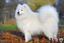 Perros con pelo blanco / Razas de perros con color de pelo blanco