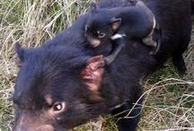 The next generation / Joeys born at Devil Ark are the future of the endangered Tasmanian devil
