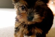 Yorkshire / Yorkie ... What a special  dog