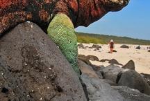 Animal reference - Iguanas